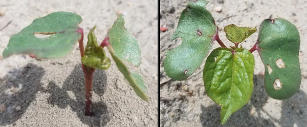 Southeast Cotton: Early Thrips, Nematode Control Critical for a Good Season